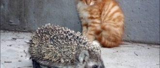 Смешная картинка про кота и ежика