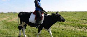 Прикольные картинки коров (36 фото)