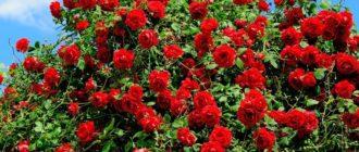 Красивые картинки розы (45 фото)