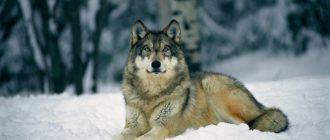 Красивые картинки волков (41 фото)
