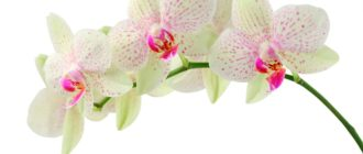 Красивые картинки на белом фоне цветы (37 фото)