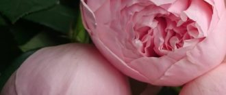 Фото самых нежных цветов (43 фото)