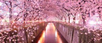 Картинки красивая сакура (45 фото)